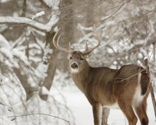 Buck in the Winter in the Northwoods