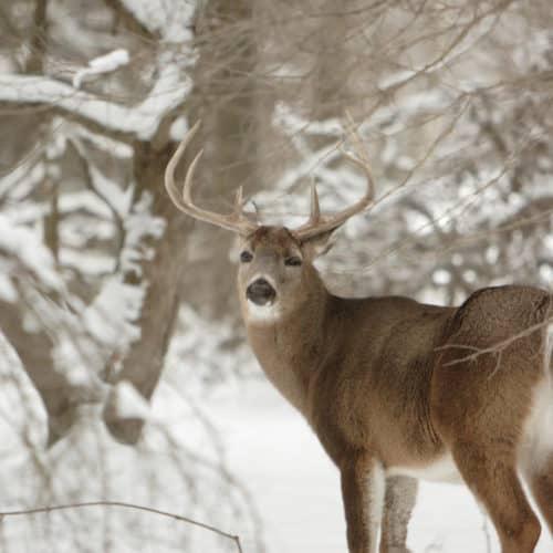 Buck in the Winter in the Northwoods