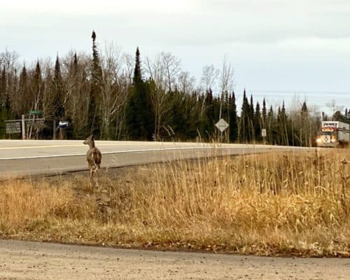 White Tailed Doe on Highway 61 in Grand Marais
