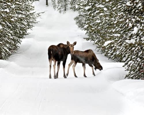 Wintertime Moose on the Gunflint Trail