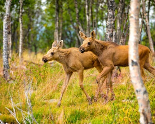 Moose Calfs on the Gunflint Trail
