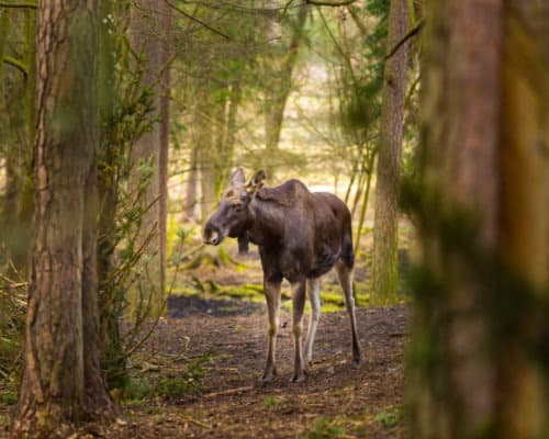 Moose in the Woods on the Gunflint Trail