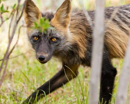 Cross Fox Variant of the Red Fox