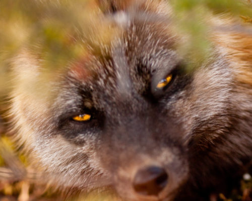 Cross Fox Close-Up