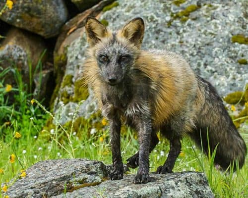 Young Cross Fox