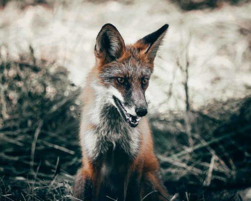 Beautiful Cross Fox