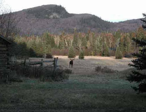 Moose in a field near Pike Lake Road in Grand Marais