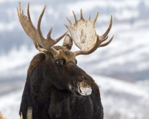 Bull moose in winter