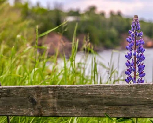 Lupine by a Fence