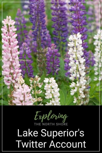 Lupine North Shore Invasive Species Pinterest Easy Pin