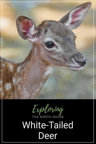 White Tailed Deer Pinterest Easy Pin